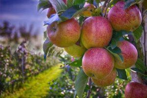 Jabłka jako dobra dieta na jesień