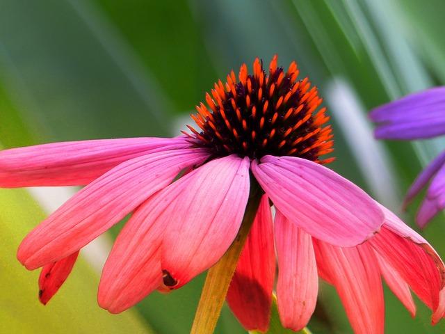 Jeżówka purpurowa pomaga skutecznie na przesilenie wiosenne