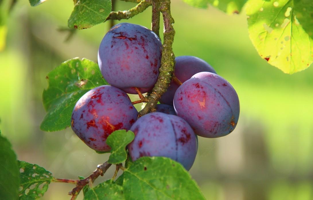 Śliwki - bardzo zdrowe i smaczne owoce z września