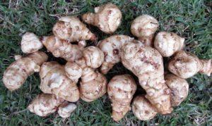 Warzywo bulwiaste topinambur - doskonałe źródło inuliny