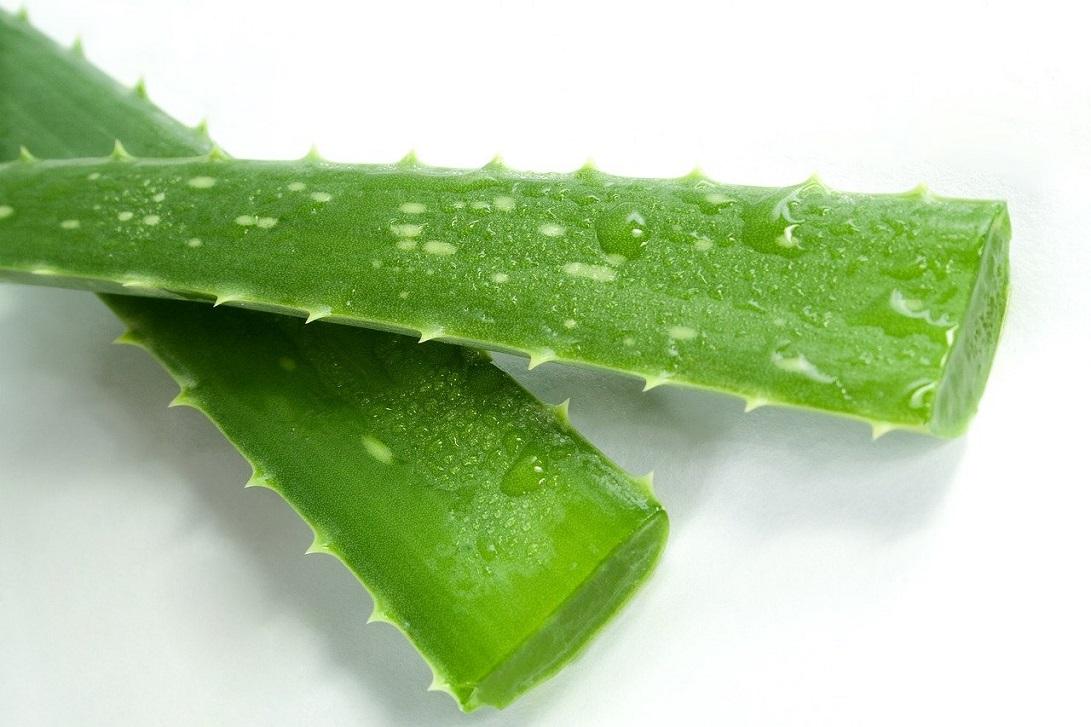 Aloes ma działanie antybakteryjne i wzmacnia odporność